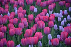 Rosa Tulpen im Garten Lizenzfreies Stockbild