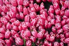 Rosa Tulpen am Markt stockbilder