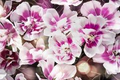 Rosa Tulpen mit bokeh stockfotografie