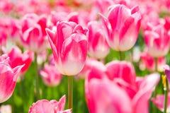 Rosa Tulpen am sonnigen Frühlingstag Lizenzfreie Stockbilder