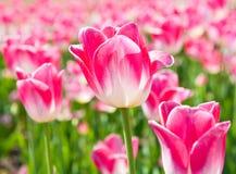 Rosa Tulpen am sonnigen Frühlingstag Stockfoto