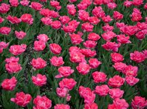 Rosa Tulpen in Stadtpark 5 stockfoto