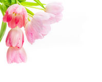 Rosa Tulpen, weißer Hintergrund Stockfotografie