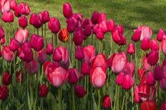 Rosa Tulpenblumen auf Frühlingswiese stockfotografie
