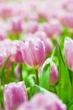 Rosa Tulpenblumen auf grünem Hintergrund stockbild