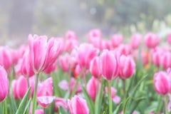 Rosa Tulpenblumen im Garten Stockbild