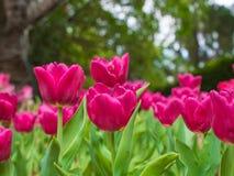 Rosa Tulpengarten auf Unschärfehintergrund Lizenzfreies Stockfoto