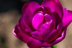 Rosa Tulpennahaufnahme auf einem braun Hintergrund, Frühlingsblumen minimalismus lizenzfreie stockfotografie