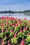 Rosa tuppkamblomma i garden5en Fotografering för Bildbyråer