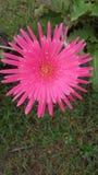 Rosa tusensköna Royaltyfria Bilder