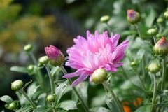 Rosa tusensköna på en rabatt arkivfoto