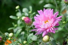 Rosa tusensköna på en rabatt arkivbild