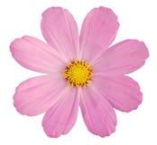 Rosa tusensköna på vit Royaltyfria Foton