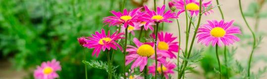 Rosa tusenskönor i trädgården den naturliga tapeten, bakgrund för designen, stället för text, vår blommar baner royaltyfri foto