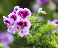 Rosa u. purpurrote Blume Stockbilder