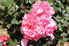 Rosa u. x27; Traum-Weaver& x27; stockfotos