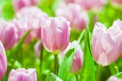 Rosa u. weiße Tulpen lizenzfreies stockbild