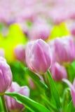 Rosa u. weiße Tulpen stockfotos