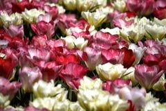 Rosa u. weißes Tulpenfeld Lizenzfreies Stockfoto