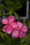 Rosa uddevintergröna Fotografering för Bildbyråer