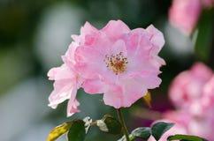 Rosa in un giardino Immagine Stock Libera da Diritti