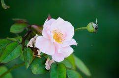 Rosa in un giardino Immagini Stock Libere da Diritti