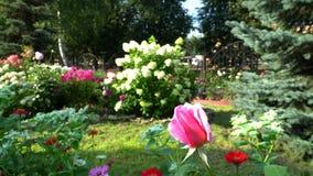 Rosa in un giardino della città video d archivio