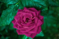 Rosa Rosa un giorno luminoso fotografia stock