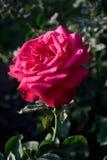Rosa una del rosa Foto de archivo libre de regalías