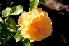 Rosa-` unbekümmertes ` lizenzfreies stockbild