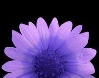 Rosa und blaue Blume nach dem Regen Schwarzes lokalisierter Hintergrund mit Beschneidungspfad Nahaufnahme ohne Schatten Stockfotos