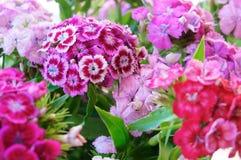 Rosa und blaue Blumenblätter der Gartennelke, Gartengartennelkenmehrjährige pflanze lizenzfreies stockfoto