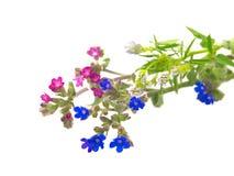 Rosa und blaue wilde Blumen Stockfoto