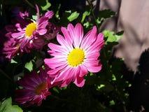 Rosa und Gelb Stockfoto