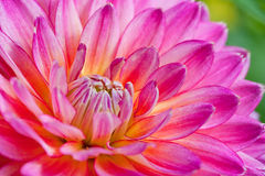 Rosa- und Gelbblätter auf Dahlie Stockfoto