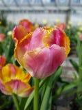 Rosa und gelbe Blume Lizenzfreies Stockfoto