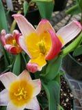 Rosa und gelbe Blume Lizenzfreies Stockbild