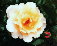 Rosa und gelbe Blume Stockfotografie