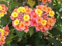 Rosa und gelbe Blumen Lizenzfreie Stockfotos