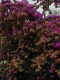 Rosa und gelbe Blumen des Busches Lizenzfreie Stockfotos