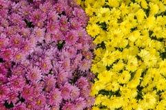 Rosa und gelbe Herbstblumen Stockbilder