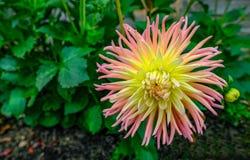 Rosa und gelbe Kaktusart Dahlie in voller Blüte mit grünem foli Lizenzfreie Stockfotografie