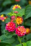 Rosa und gelbe Lantanablumen am sunse lizenzfreie stockfotos