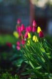 Rosa und gelbe Tulpen stockfotos