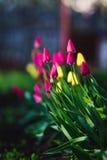 Rosa und gelbe Tulpen auf Rasen Nicht schon blühende Blumen Stockfotos