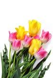 Rosa und gelbe Tulpen auf Weiß Stockbild