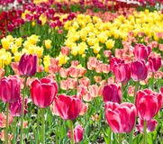 Rosa und gelbe Tulpen am sonnigen Frühlingstag Stockfotografie