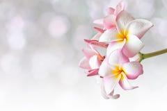 Rosa und gelber Plumeria spp Lizenzfreie Stockbilder