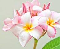 Rosa und gelber Plumeria spp Lizenzfreie Stockfotos