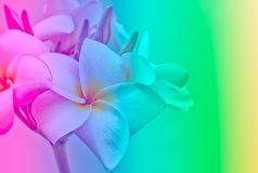 Rosa und gelber Plumeria spp Stockfotografie